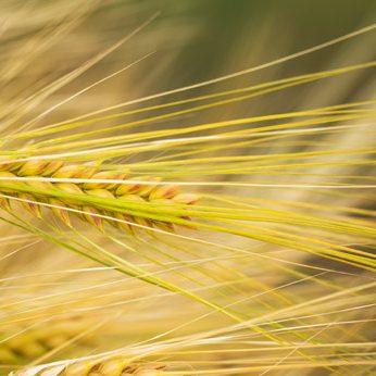 Gerbs Allergy Hub - Wheat & Gluten Allergens